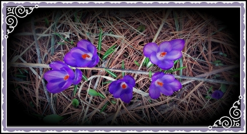 What makes crocuses bloom so early? How do they know when to sprout?